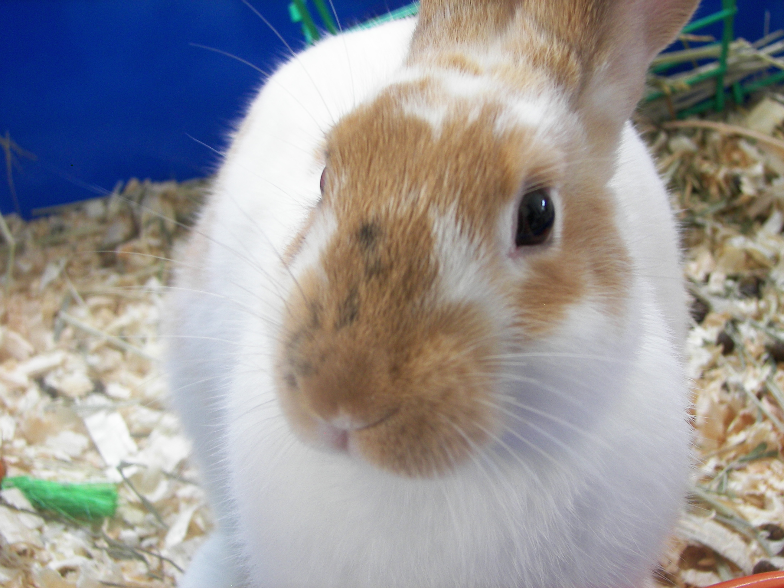 A Netherland dwarf rabbit called Butterscotch.