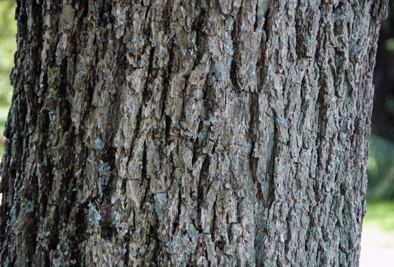 Carya illinoinensis (pecan tree) 4.jpg