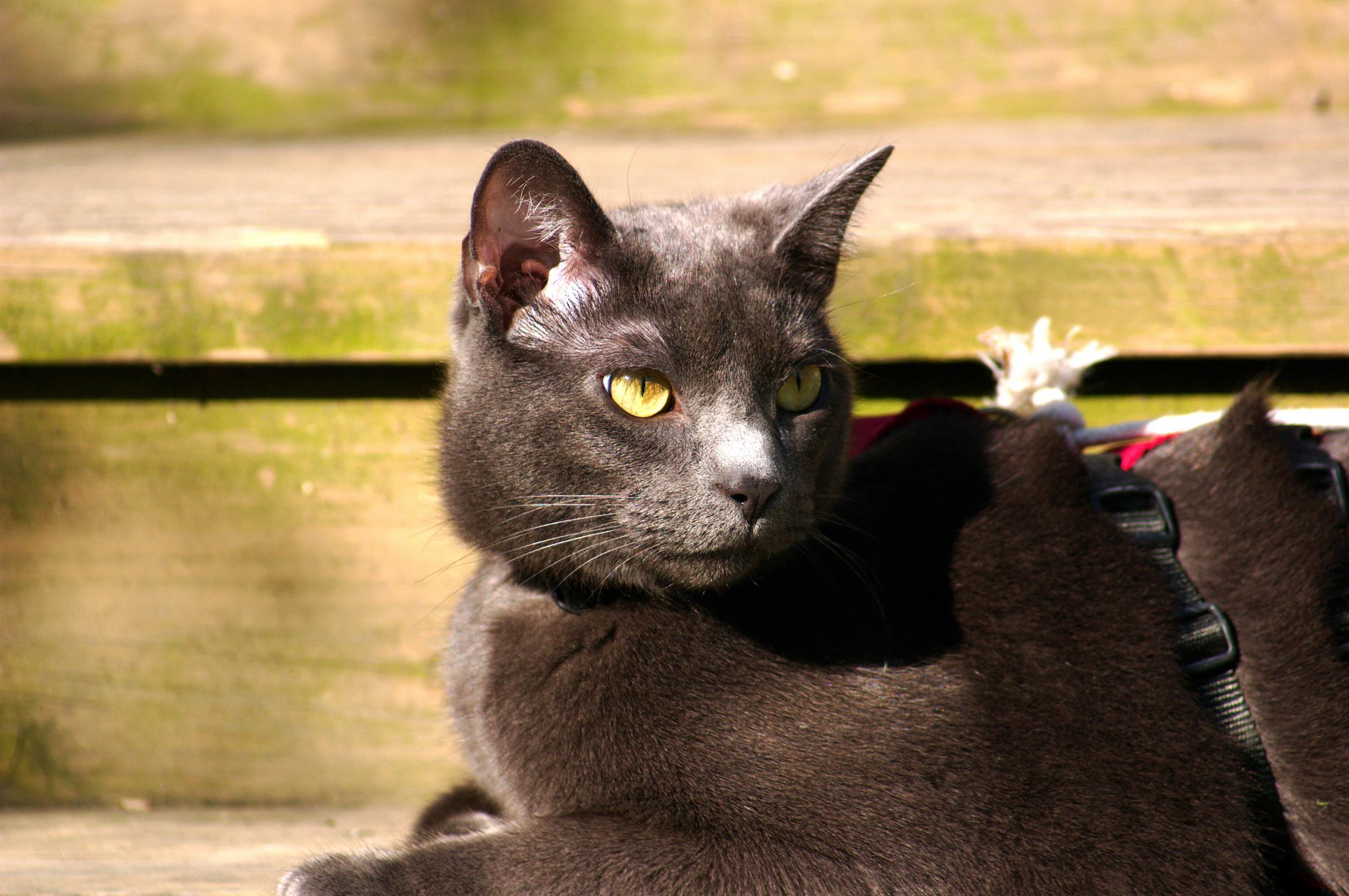 Russian Blue Cat Ado Tion