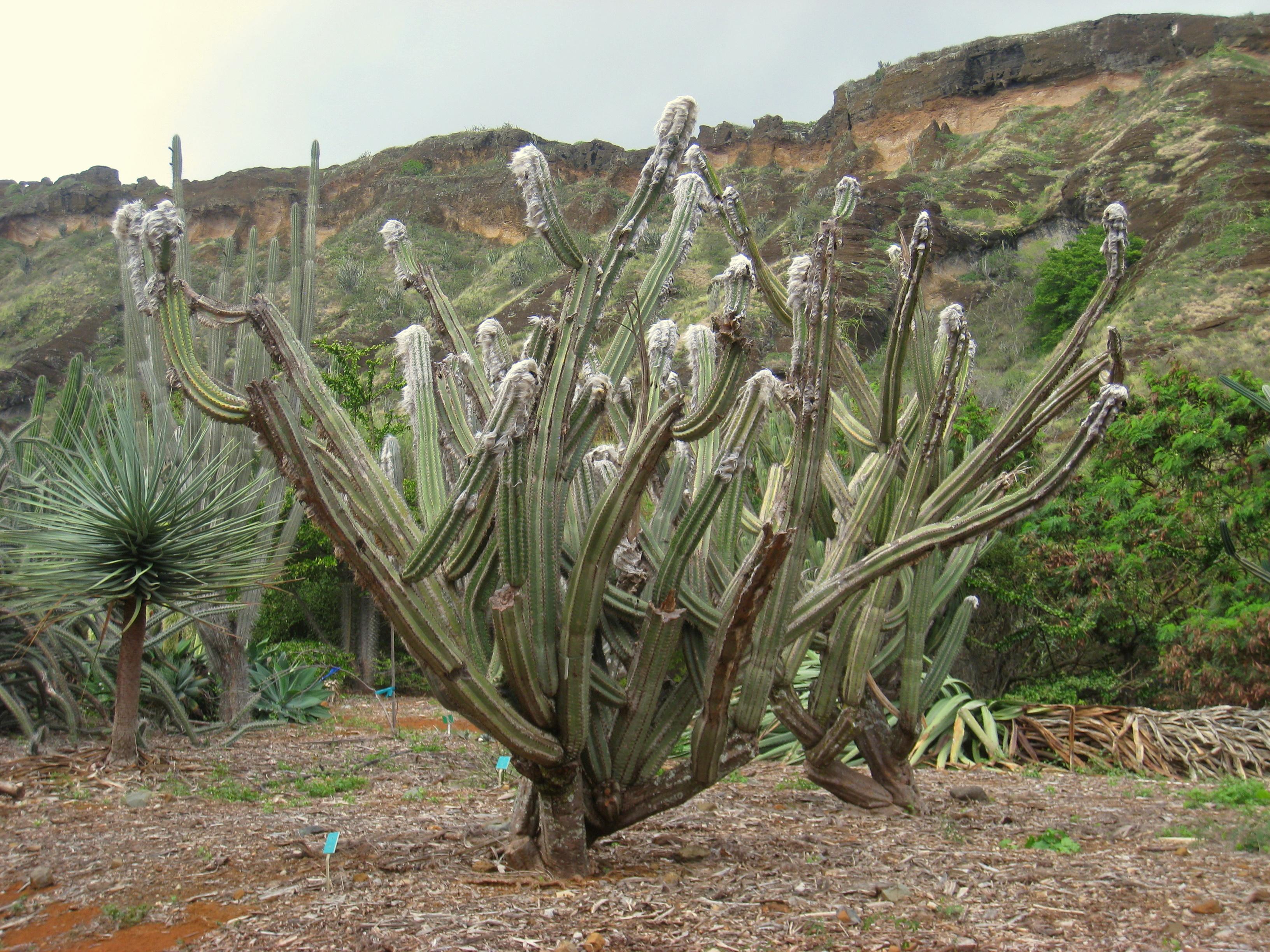 Ordinaire File:Cephalocereus Palmeri   Koko Crater Botanical Garden   IMG 2195.JPG