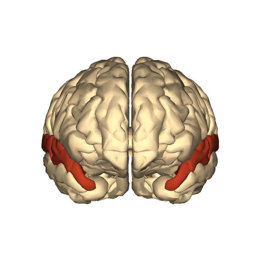 File:Cerebrum - superior temporal gyrus - anterior.png - Wikimedia ...