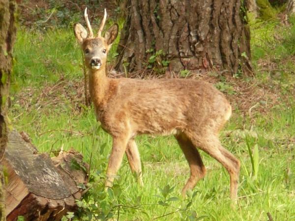 western roe deer - Wiktionary