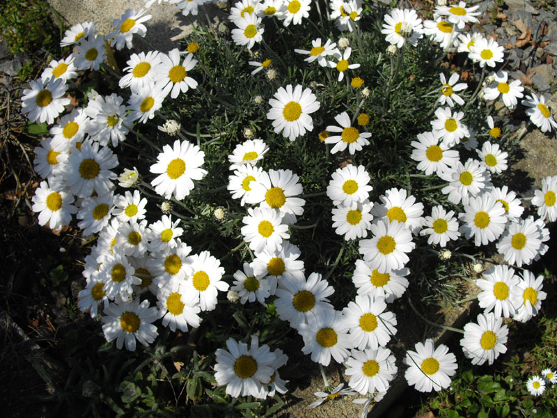 Picture of Live Moroccan Daisy aka Chrysanthemum hosmariense Plant Fit 1 Gallon Pot