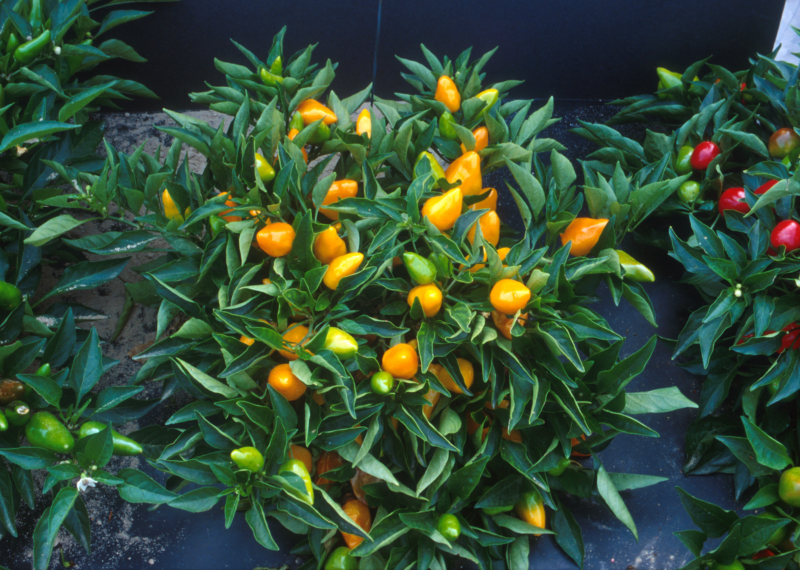 File compact orange pepper plants