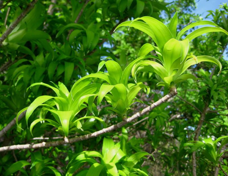 Dracaena reflexa var angustifolia  Wikipedia