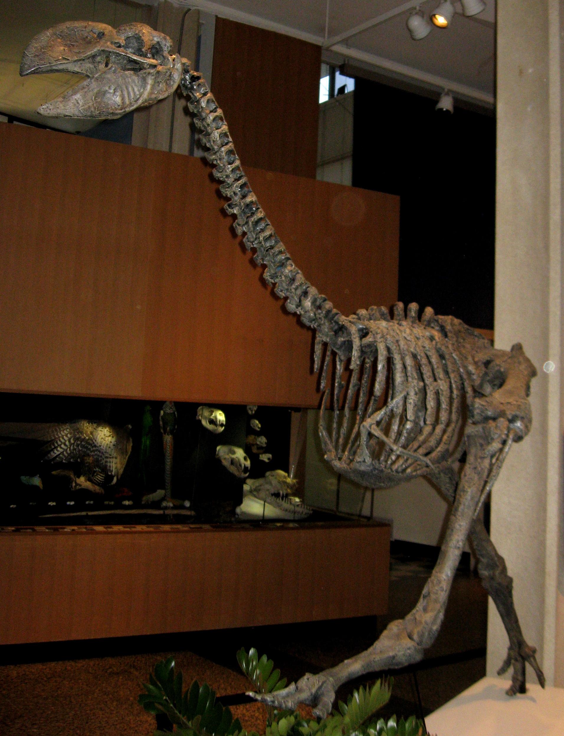 Dromornithidae - Wikipedia - photo#9