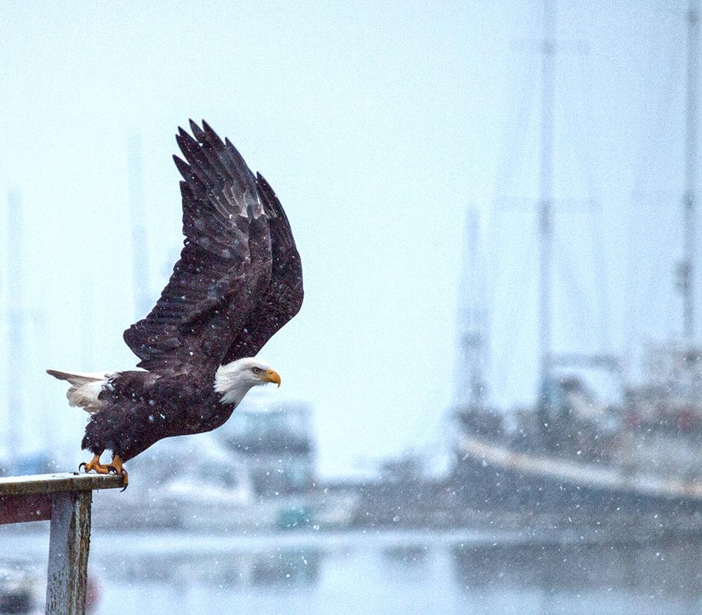 File:Eagle Take OFF 958.jpg - Wikimedia Commons