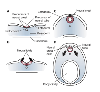 Neurulation and neural crest cells Embryonic Development CNS.png