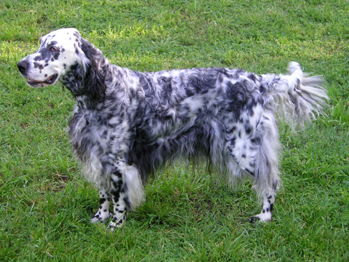 English Setter Puppies for Sale