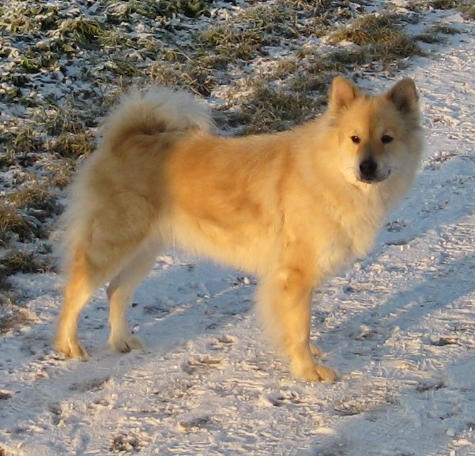 http://upload.wikimedia.org/wikipedia/commons/1/15/Eurasier-bm.jpg