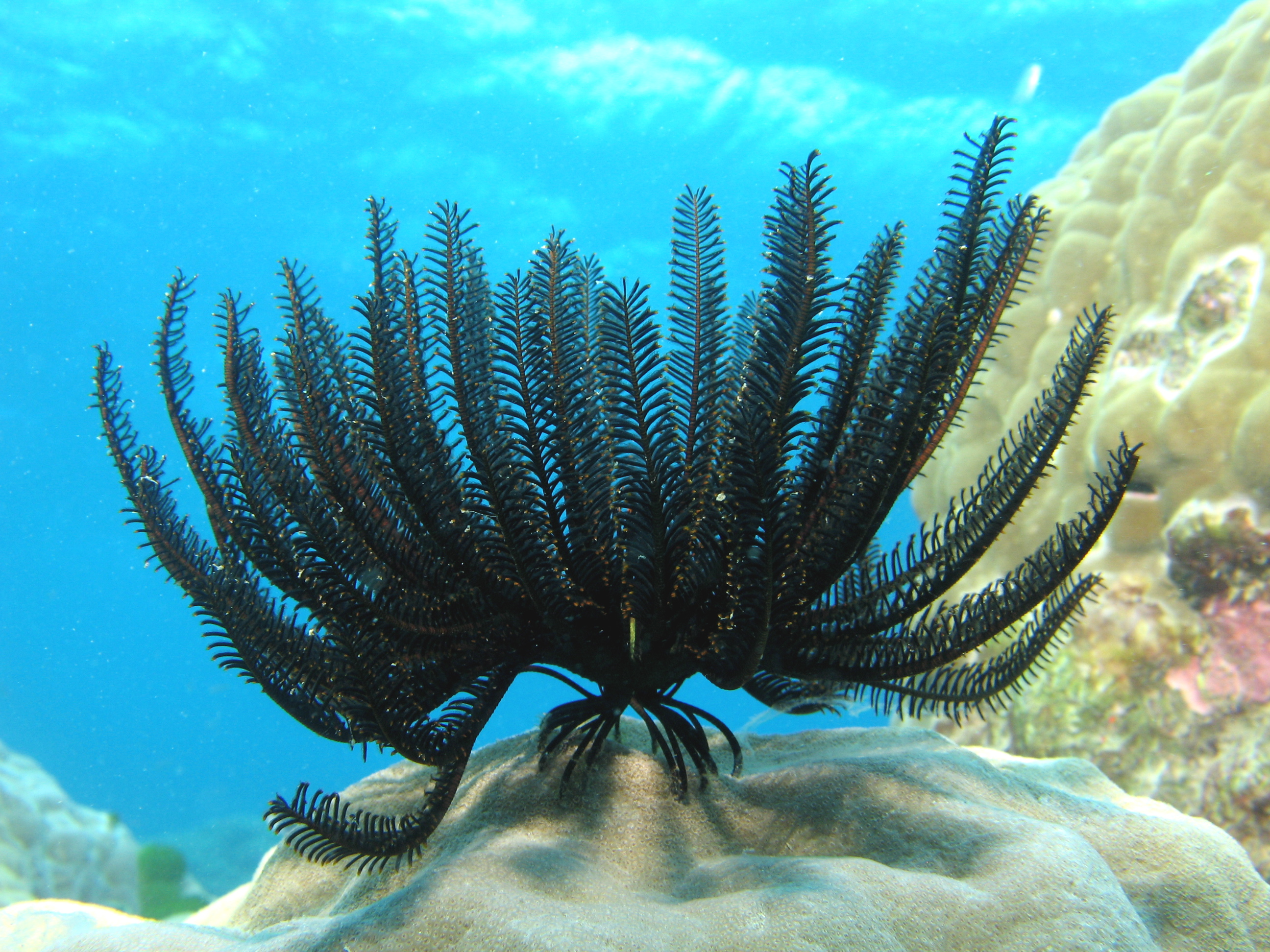 Feather star on rocky reef showing numerous feathery tentacles and tube-feet holdfasts.