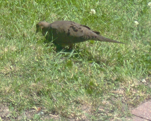 La paloma de luto; Aspectos únicos - alimentación de aves con George Petrides