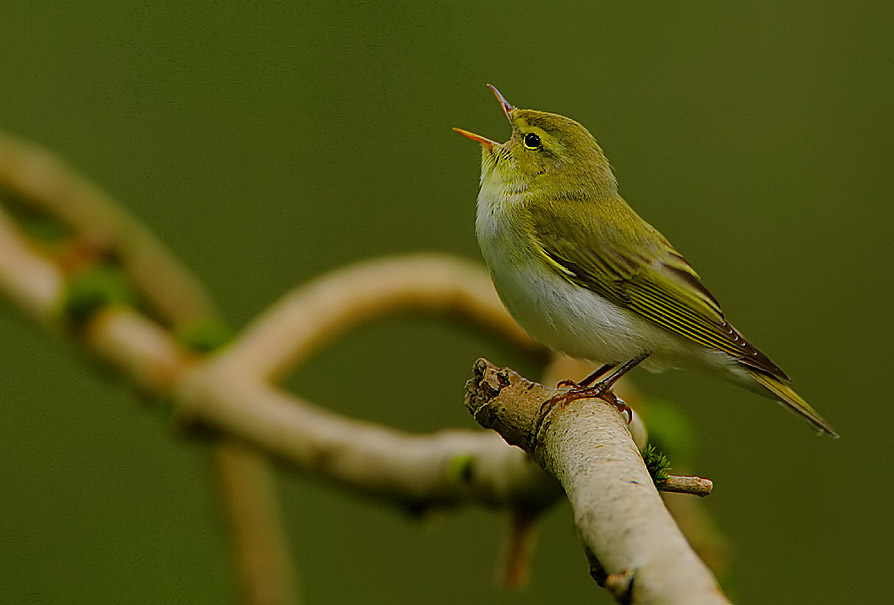 Flickr - Rainbirder - Wood Warbler (Phylloscopus sibilatrix) (1).jpg