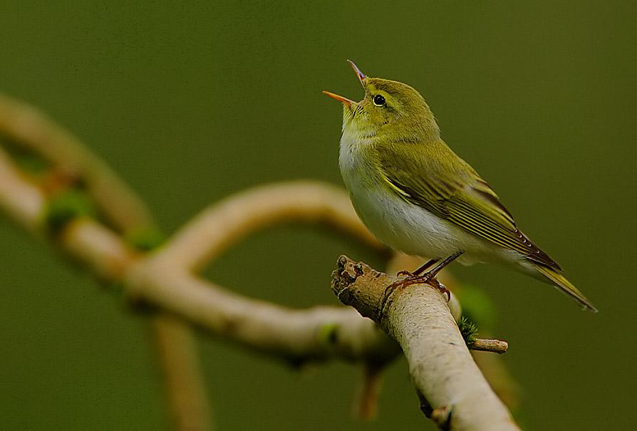 Flickr - Rainbirder - Wood Warbler (Phylloscopus sibilatrix) (1).jpg
