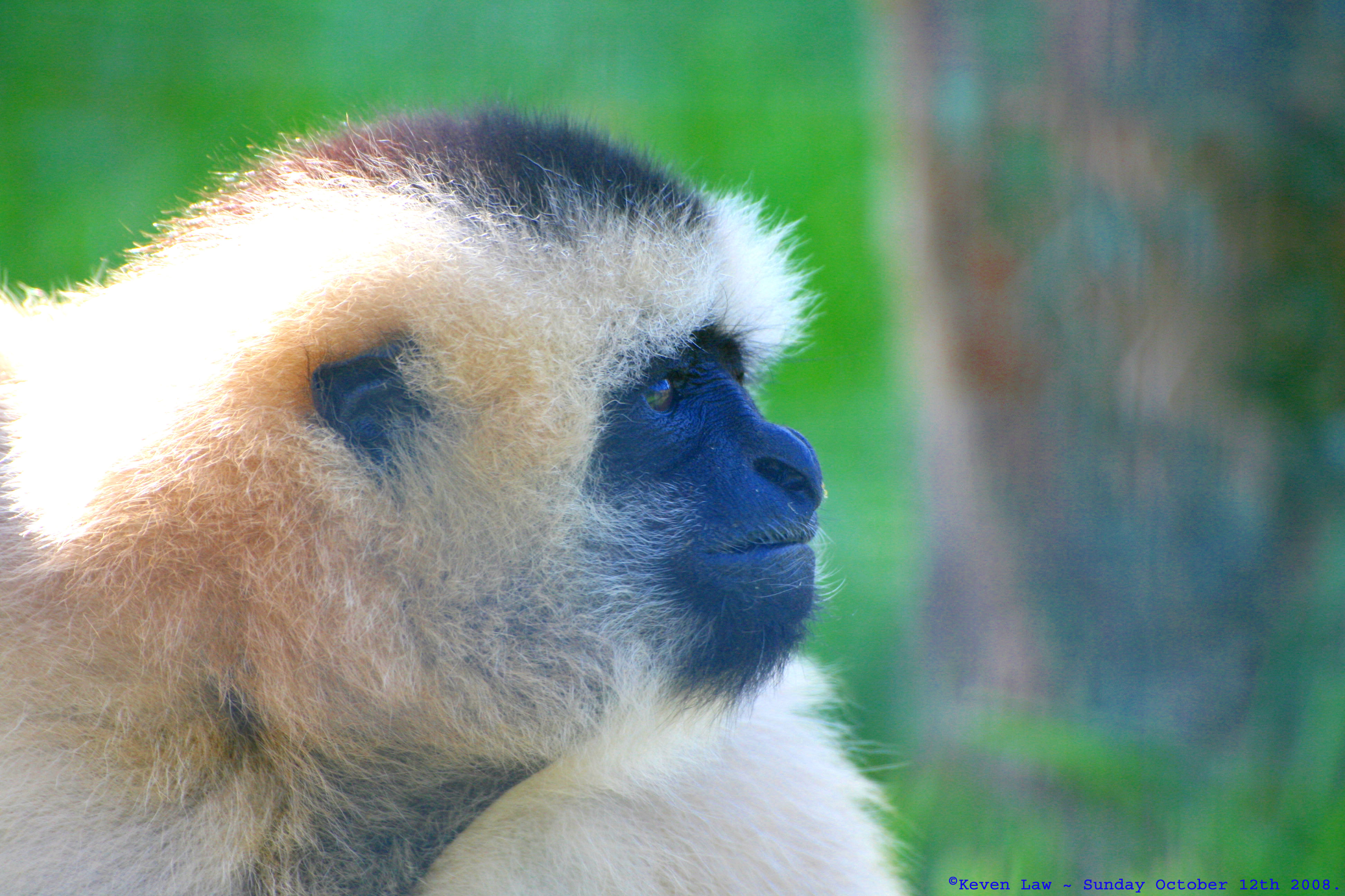 Gibbons are highly sexually dimorphic.