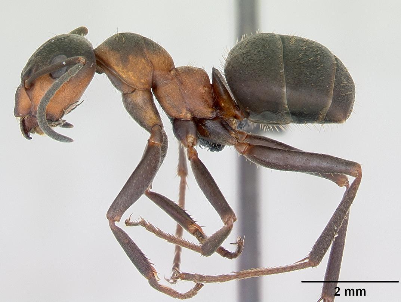 File:Formica lugubris casent0173155 profile 1.jpg - Wikimedia Commons