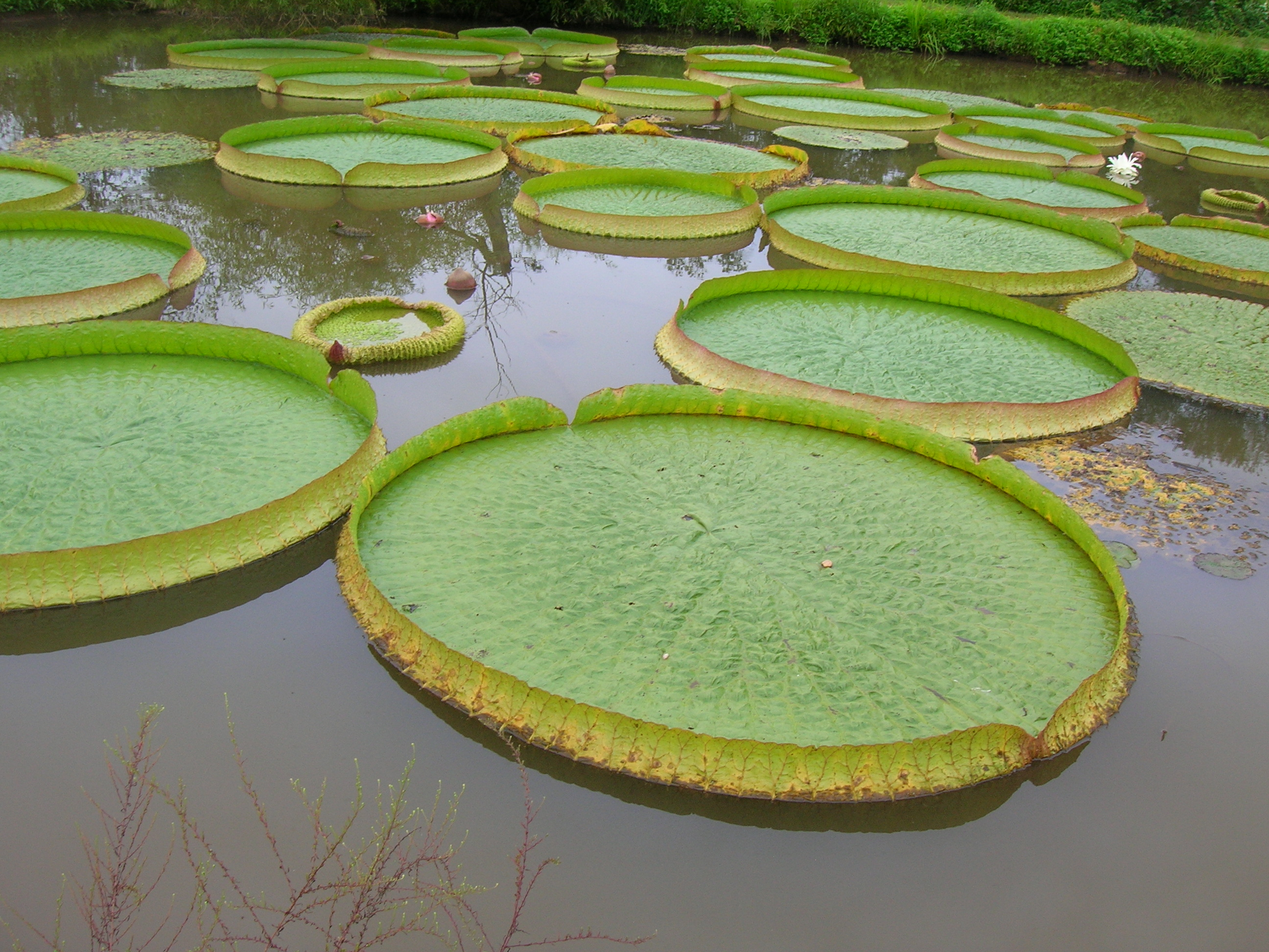 File:Giant lily pads (...