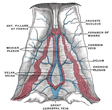 Vena cerebral magna - Wikipedia, la enciclopedia libre