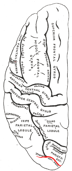 Gray725 trans occipital sulcus.png