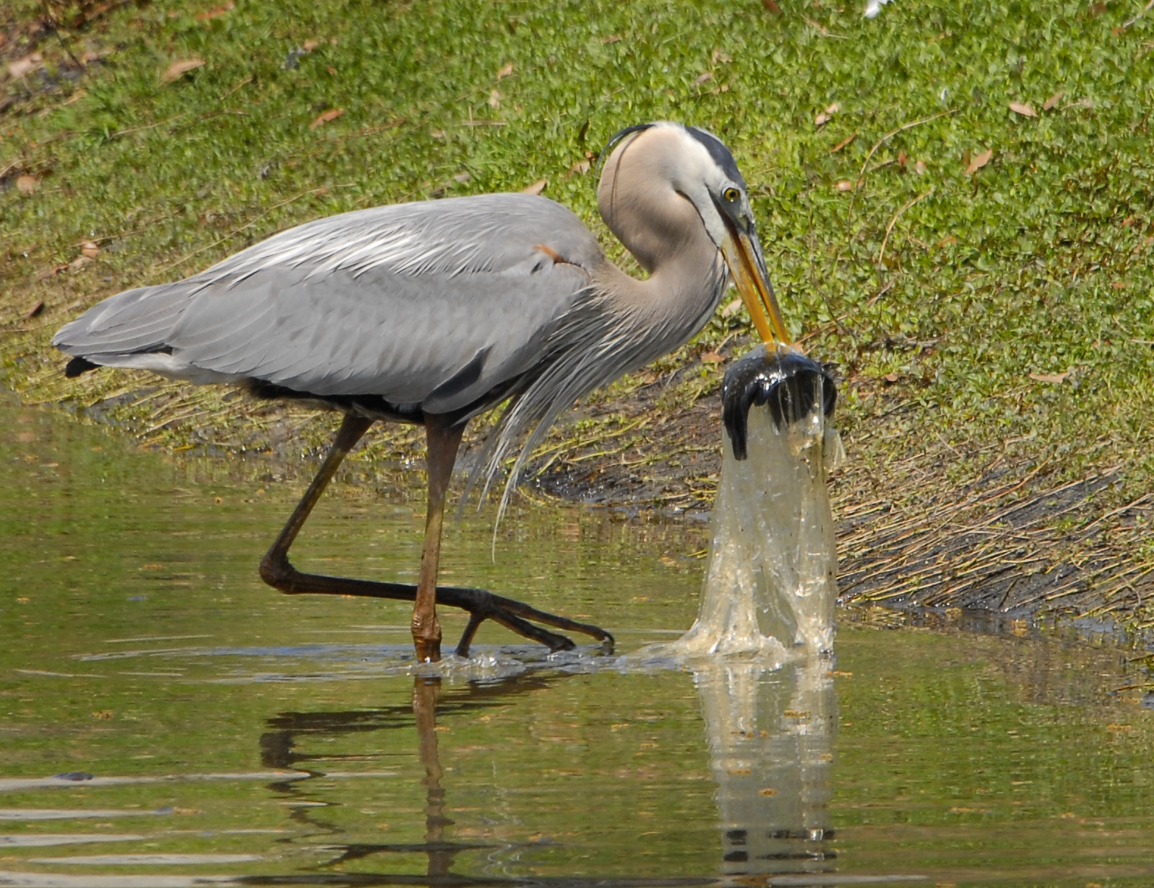 File great blue heron swallows fish in plastic bag for Blue heron fishing