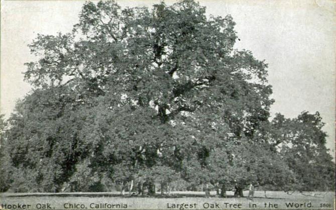 File:Hooker Oak.png