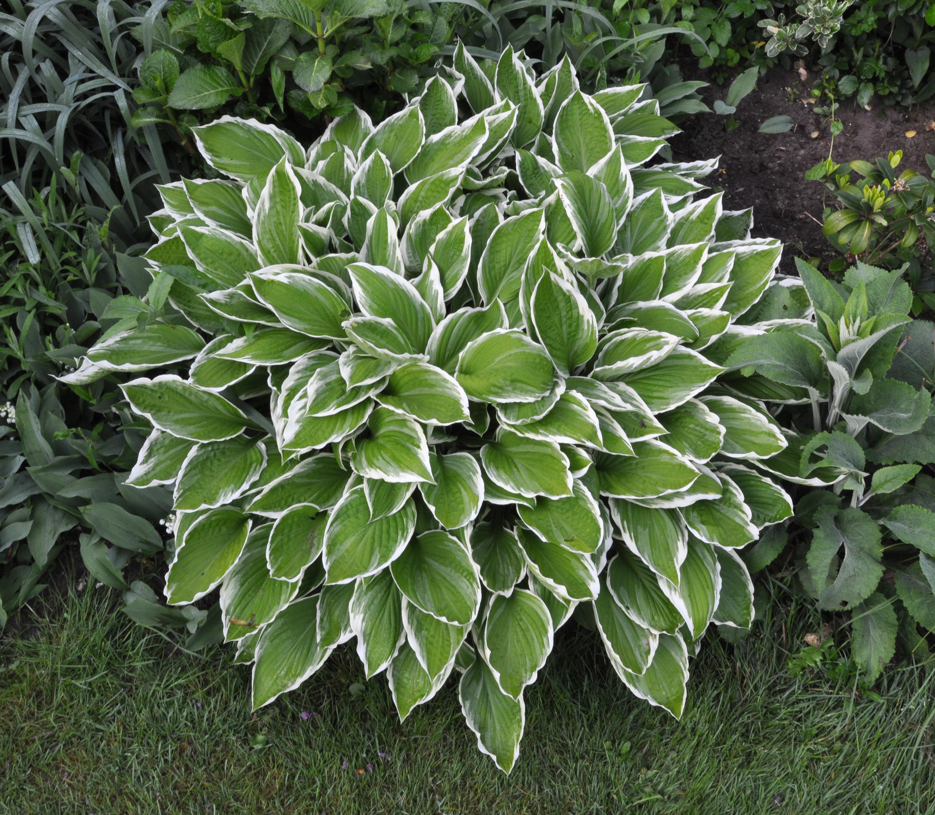 Hosta - Plantas de sombra para jardin ...