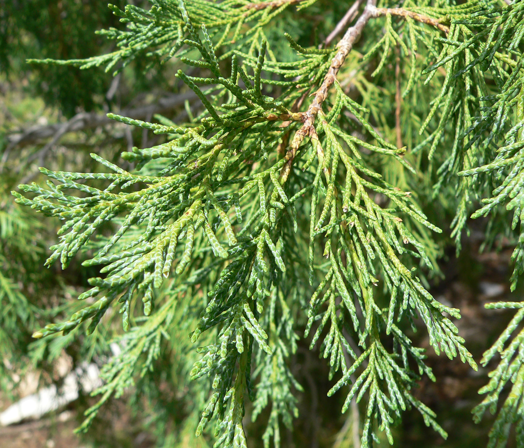 File juniperus scopulorum wikimedia commons for Garten 2000 weiche