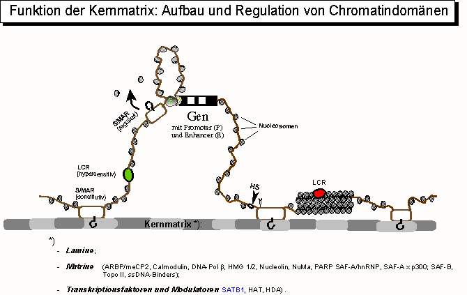 Chromatinorganisation durch die Kernmatrix