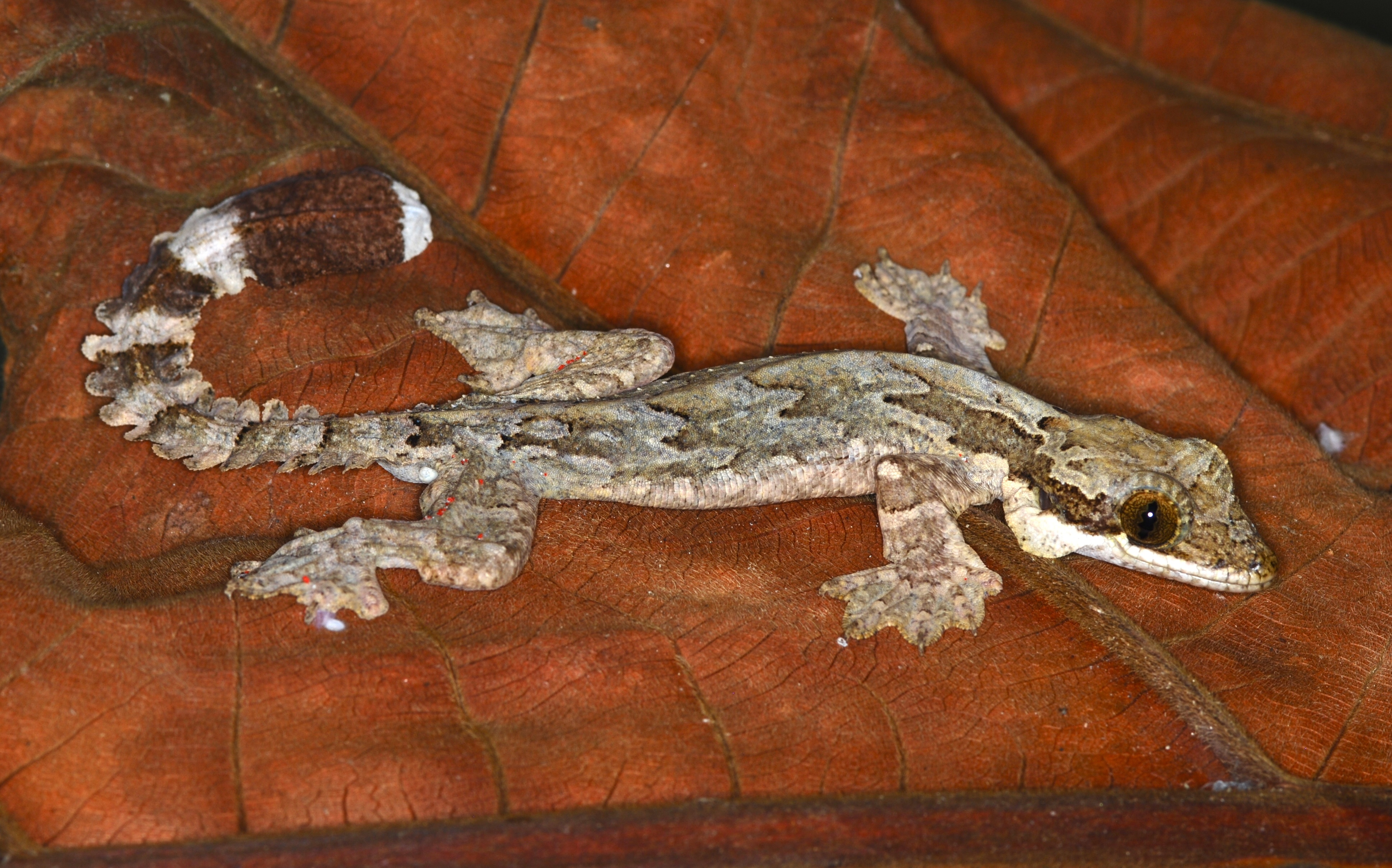 Image result for Flying gecko
