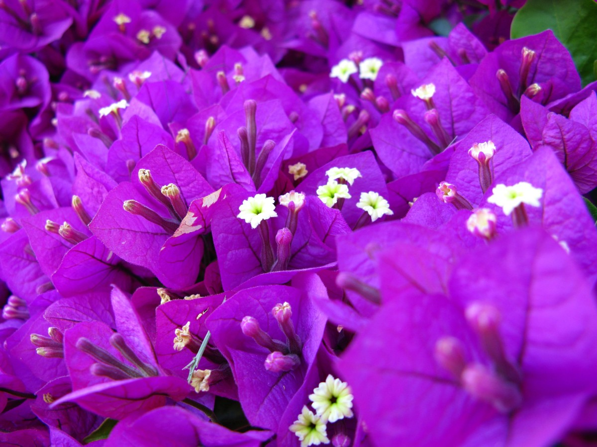 Purple flowers download vatozozdevelopment purple flowers download mightylinksfo