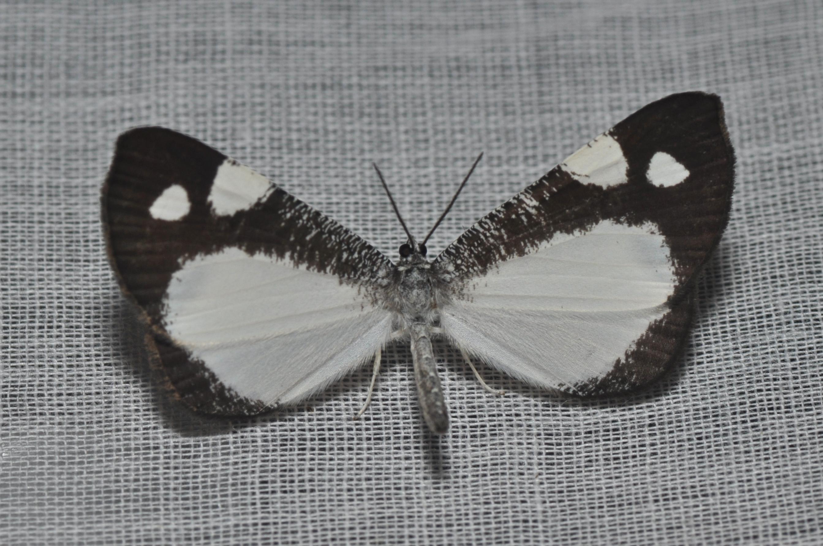 Hedylidae