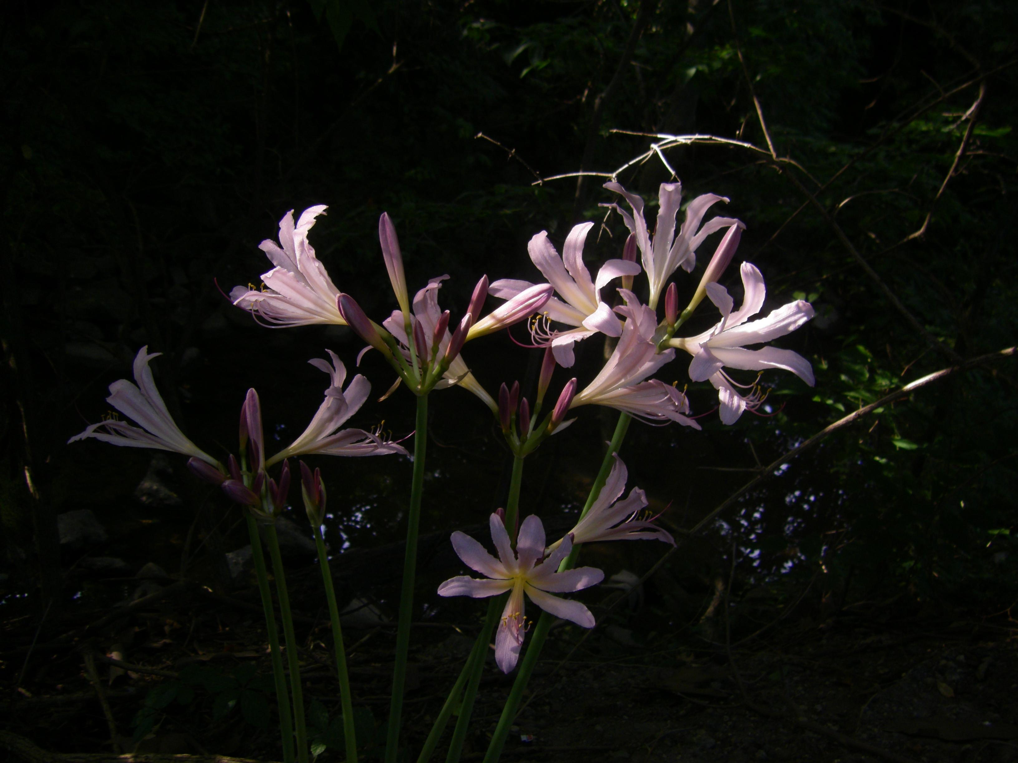 Filemagic lilies lycoris squamigera underexposed fill flash filemagic lilies lycoris squamigera underexposed fill flash indianapolis in usa 9 izmirmasajfo