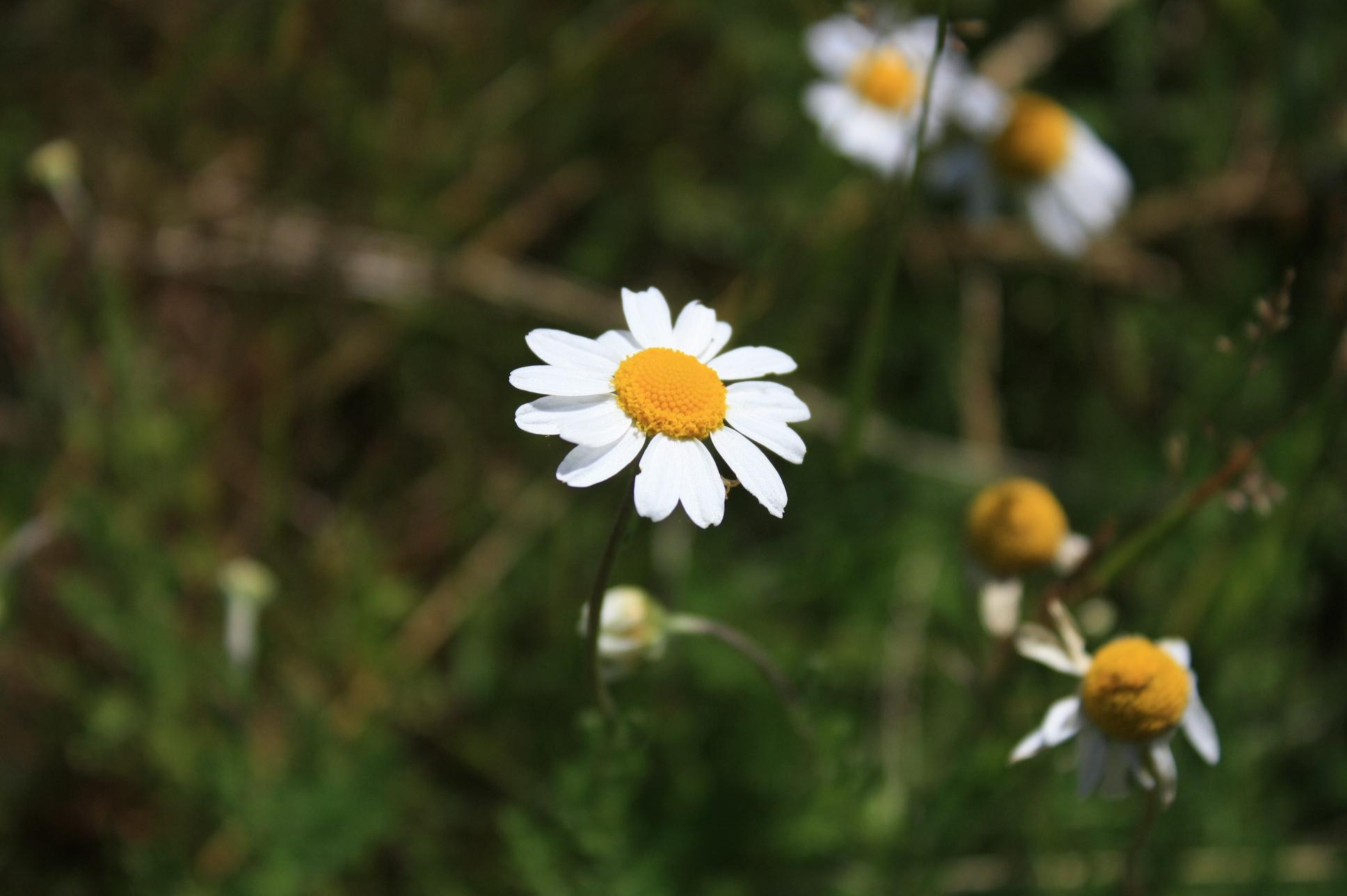 margarita gigante flores - photo #42