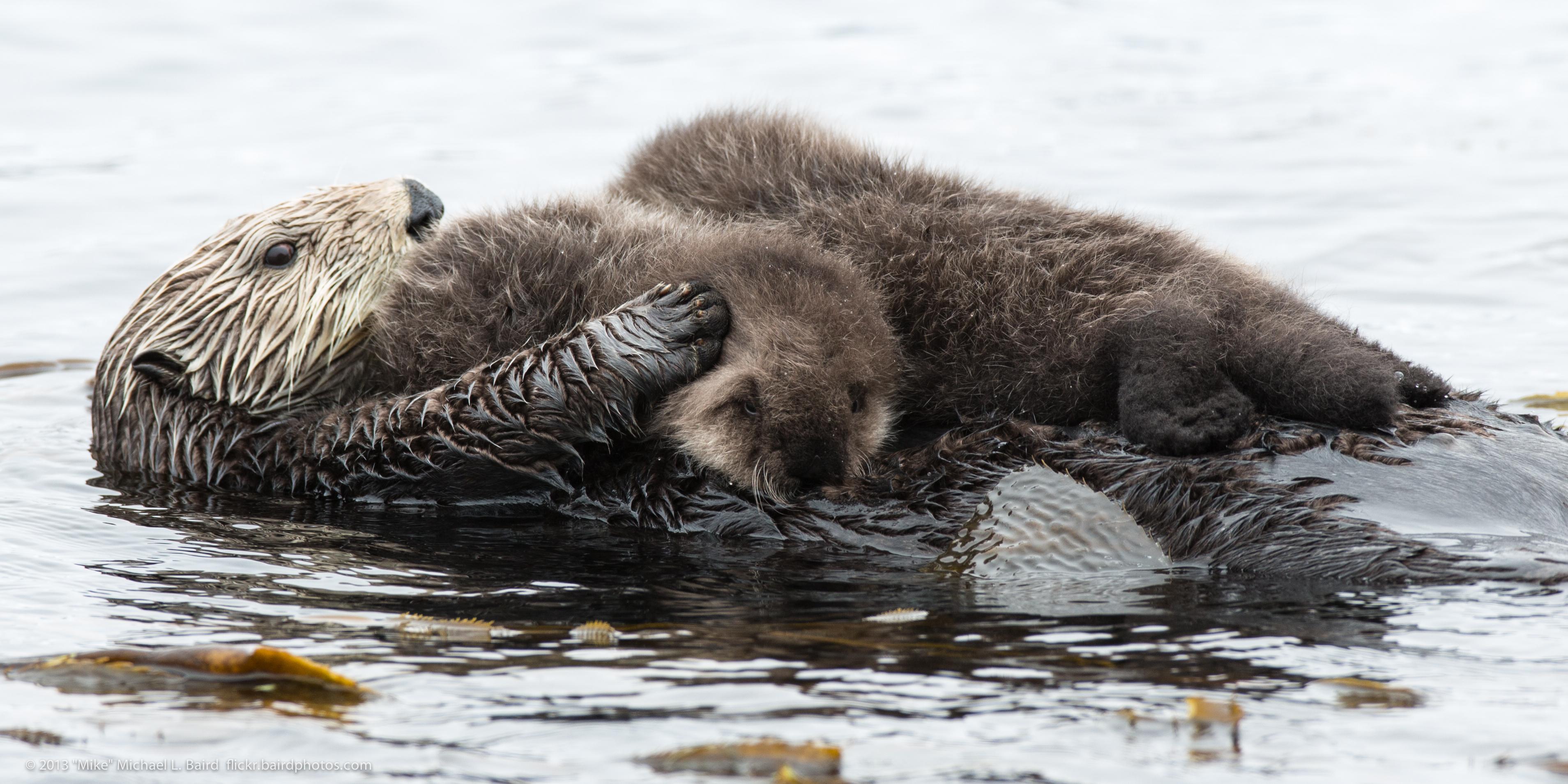 Image Result For River Otter Coloring