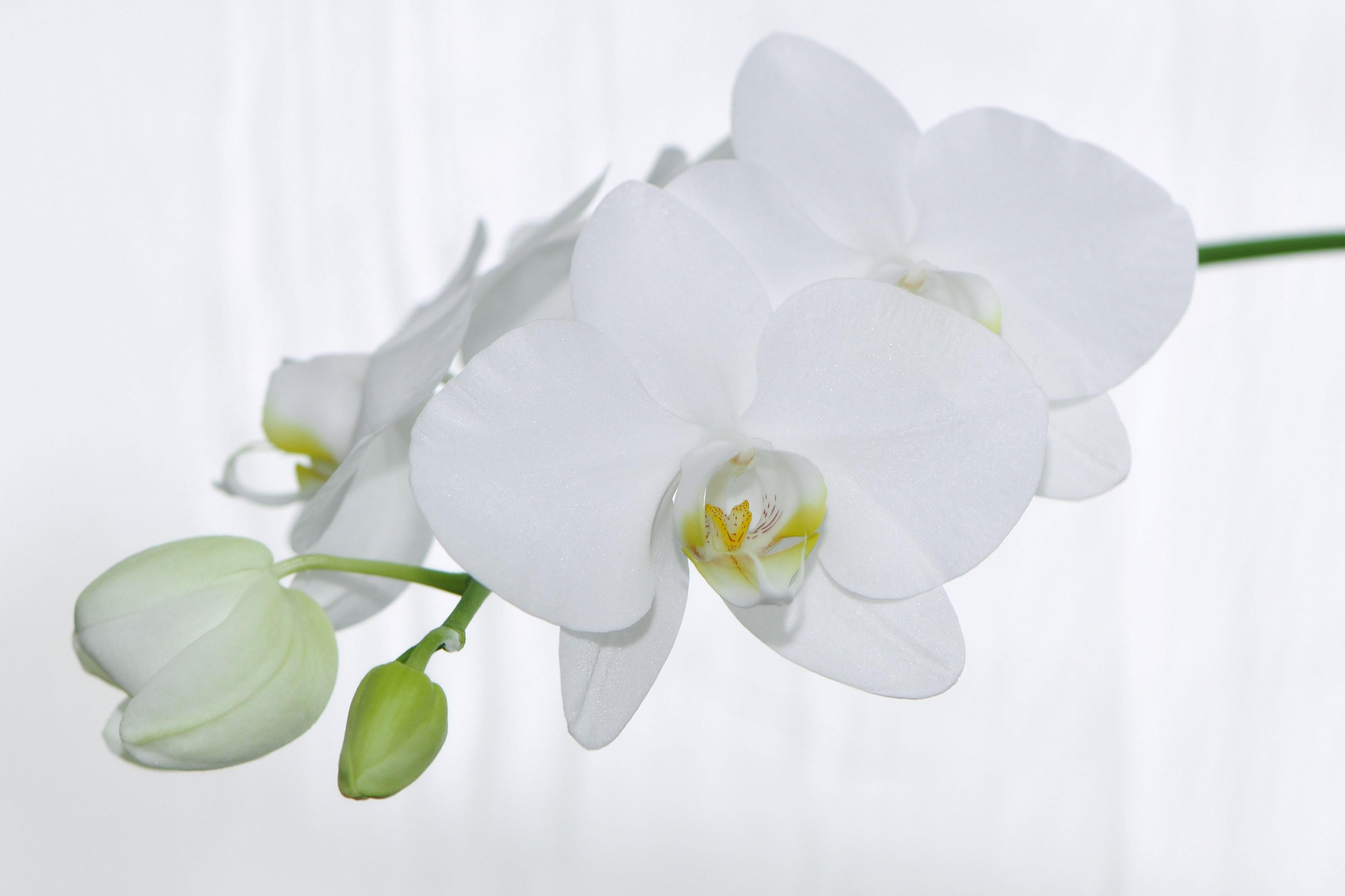 file nachtfalter orchidee phalaenopsis 10 jpg wikimedia. Black Bedroom Furniture Sets. Home Design Ideas