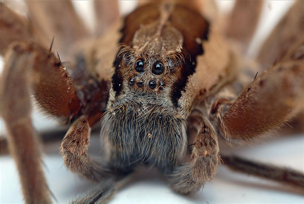 Black Widow Spider Facts  Live Science
