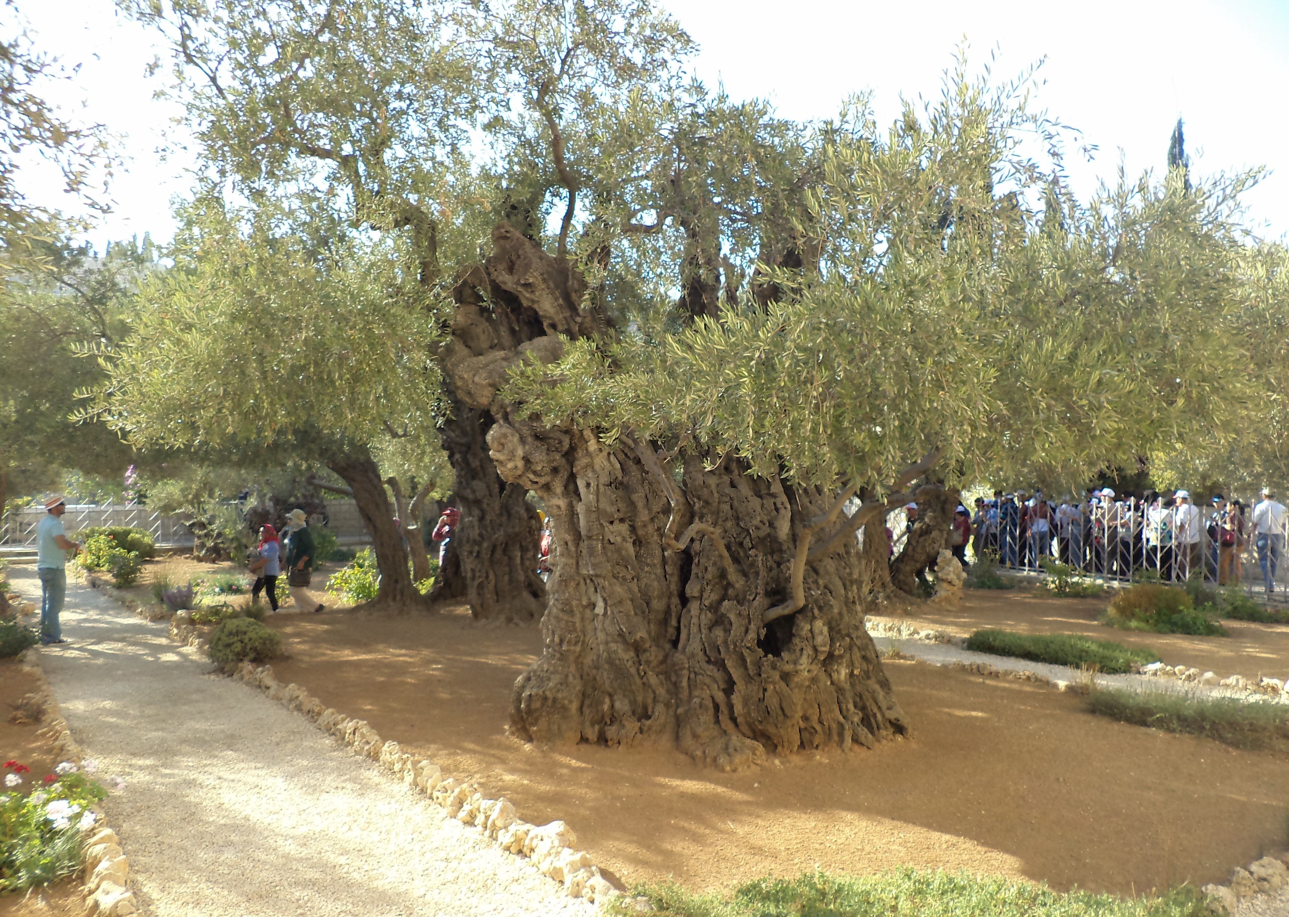File:One of the oldest olive trees in the Garden of Gethsemane..jpg ...