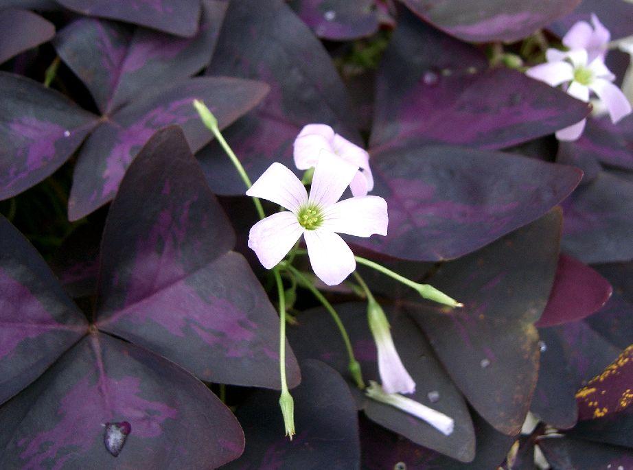 Plant profile purple shamrock oxalis triangularis flora frenzy - Shamrock indoor plant ...