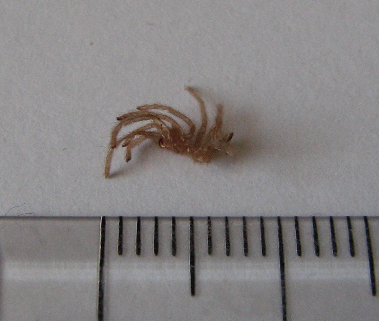 Giant Huntsman Spider ...