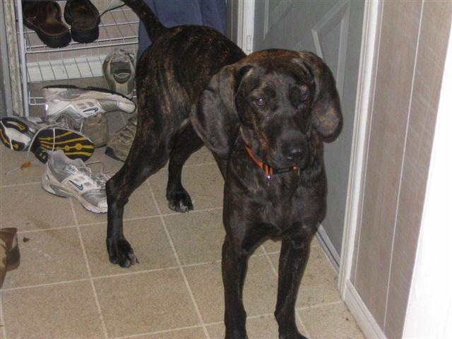 ... mix plott hound hunting plott hound german shepherd mix plott hound