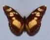 Pseudacraea lucretia, f, Kavango.jpg