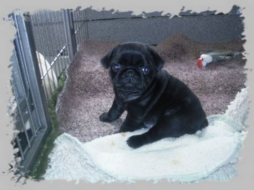 File:Pug-puppies-black-mops-welpen-schwarz.jpg - Wikimedia Commons