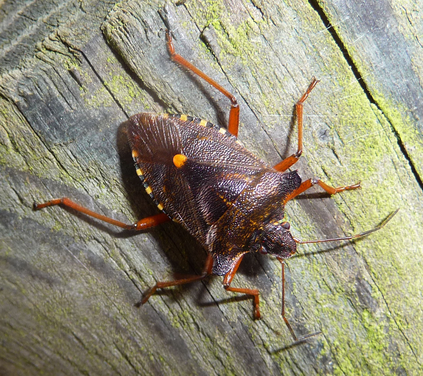 File:Red-legged Sheild bug Pentatoma rufipes. - Flickr - gailhampshire.jpg