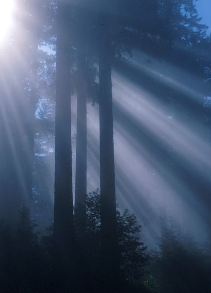 Redwood sunlight by NPS Photo [Public domain], via Wikimedia Commons