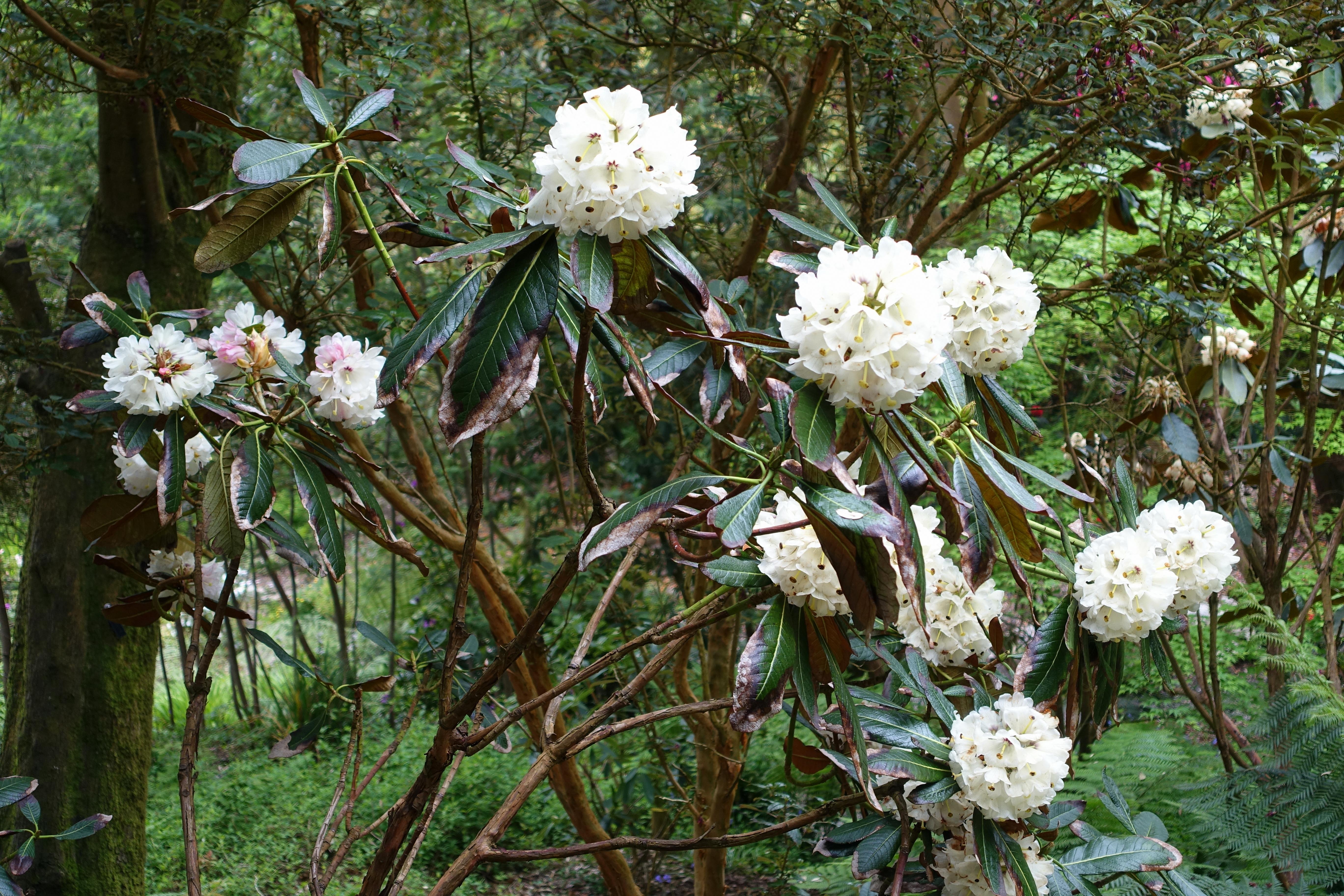 Rhododendron Falconeri Wikipedia
