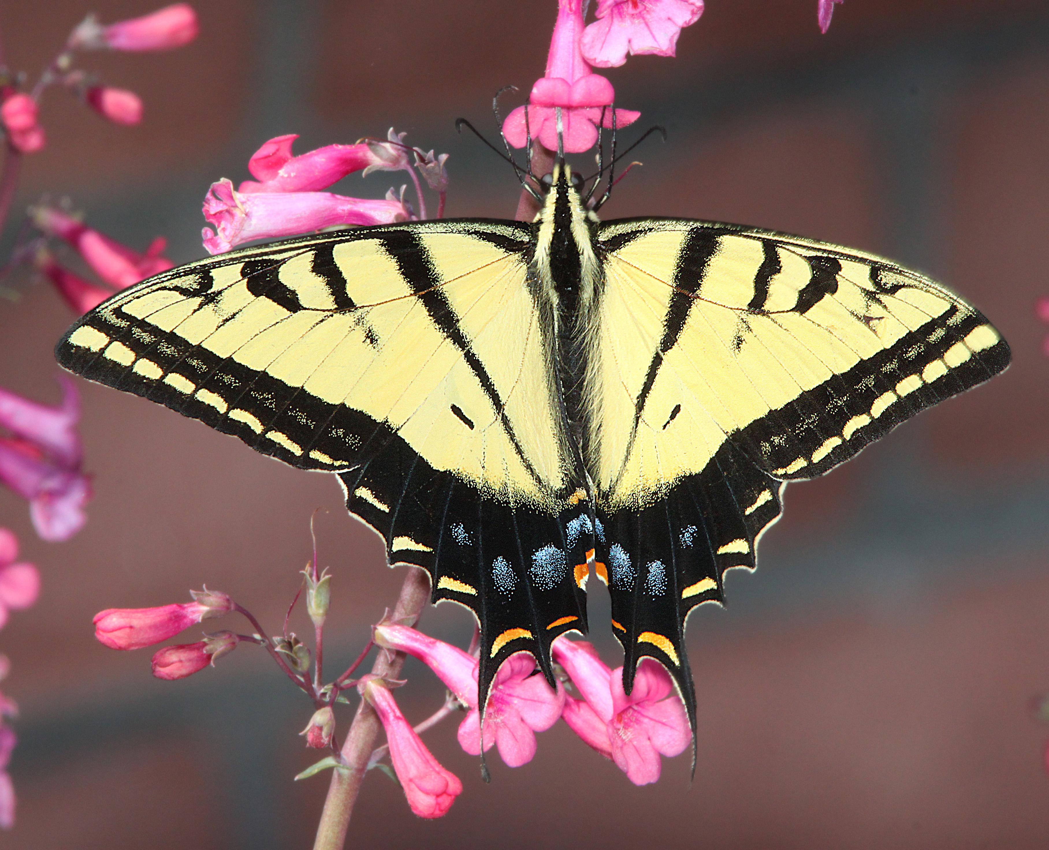 Tập tin:SWALLOWTAIL, TWO-TAILED (Papilio multicaudata) (3-21