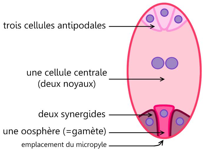 Sac embryonnaire — Wikipédia