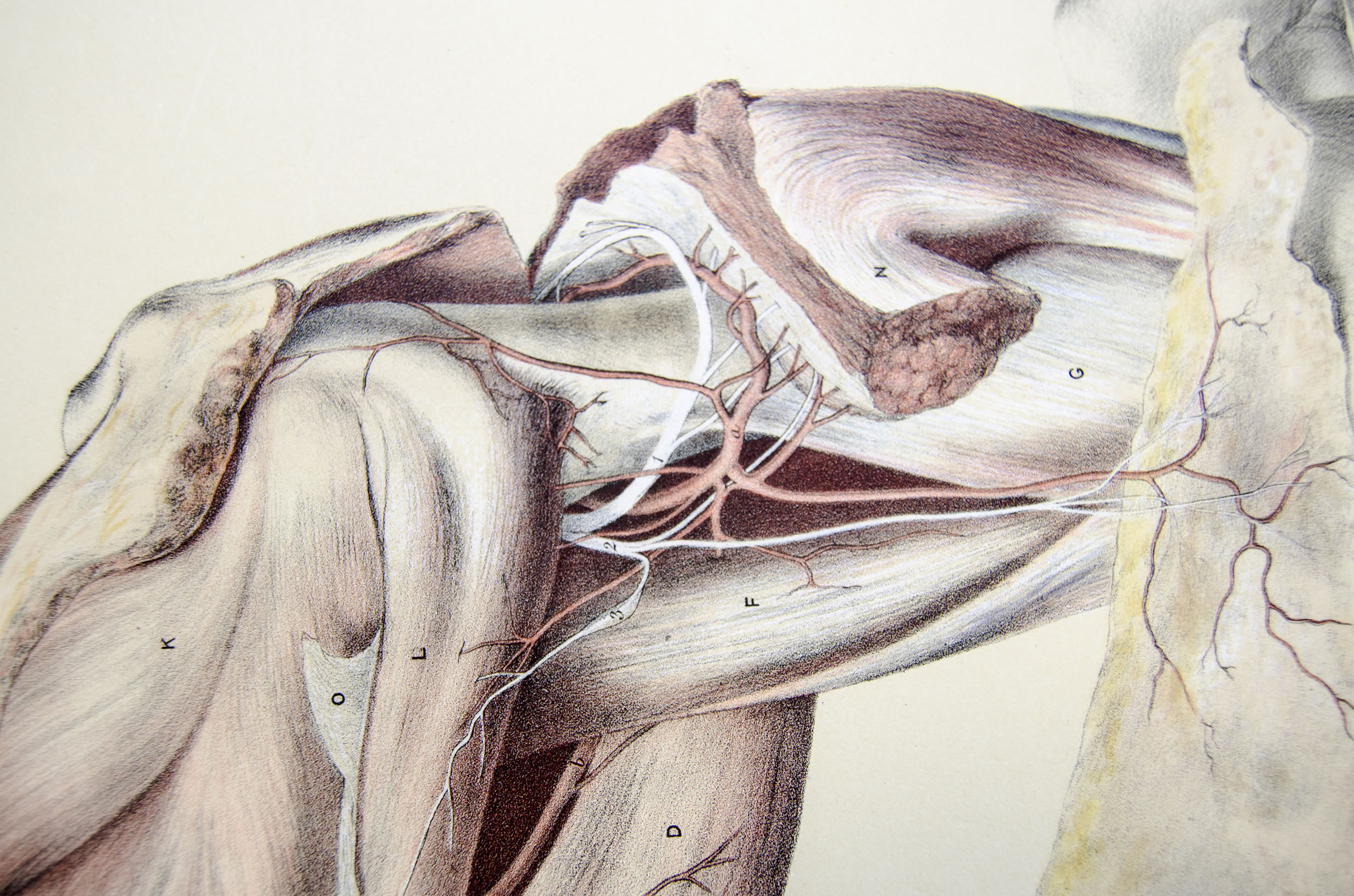Fileshoulder And Muscles At The Back Of The Scapula 11291062854