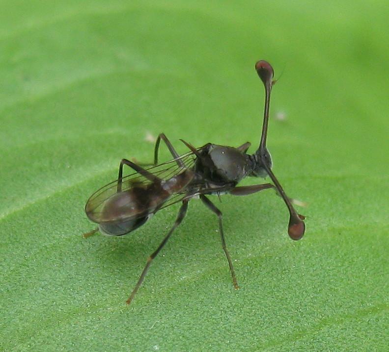 CRAZY BEAUTIFUL NATURE: Stalk-eyed flies (Diopsidae ...