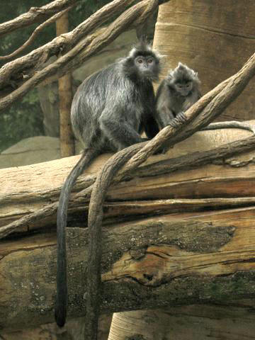 https://upload.wikimedia.org/wikipedia/commons/1/15/Stavenn_Trachypithecus_cristatus_01.jpg